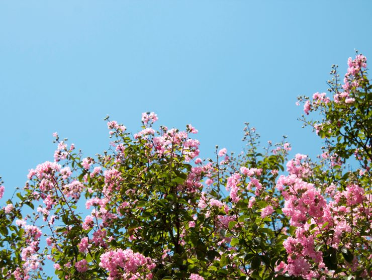 pink flowers on shrub under blue sky